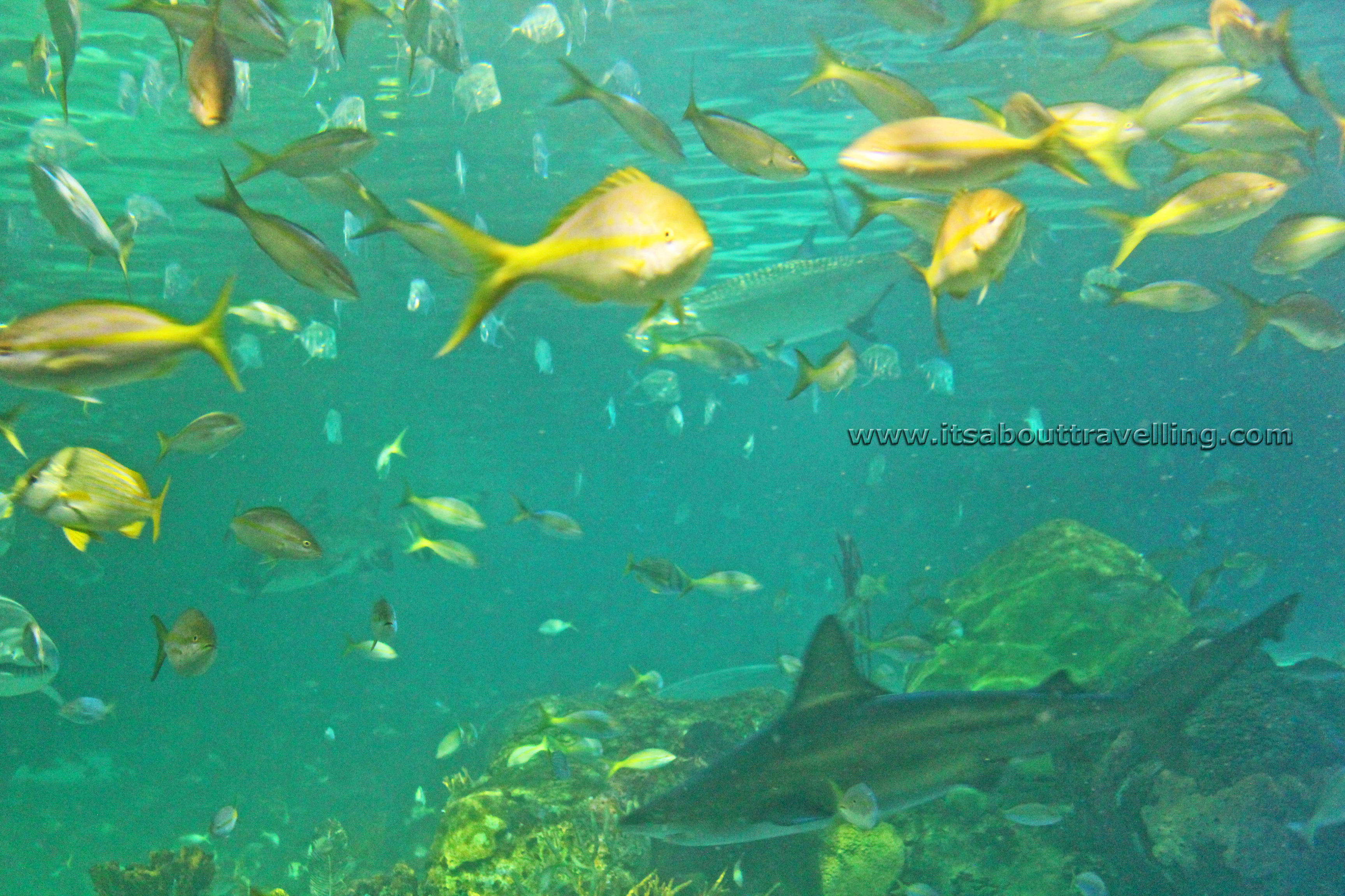 Fish aquarium in canada - Yellow Tail Snapper And Shark Ripleys Dangerous Lagoon