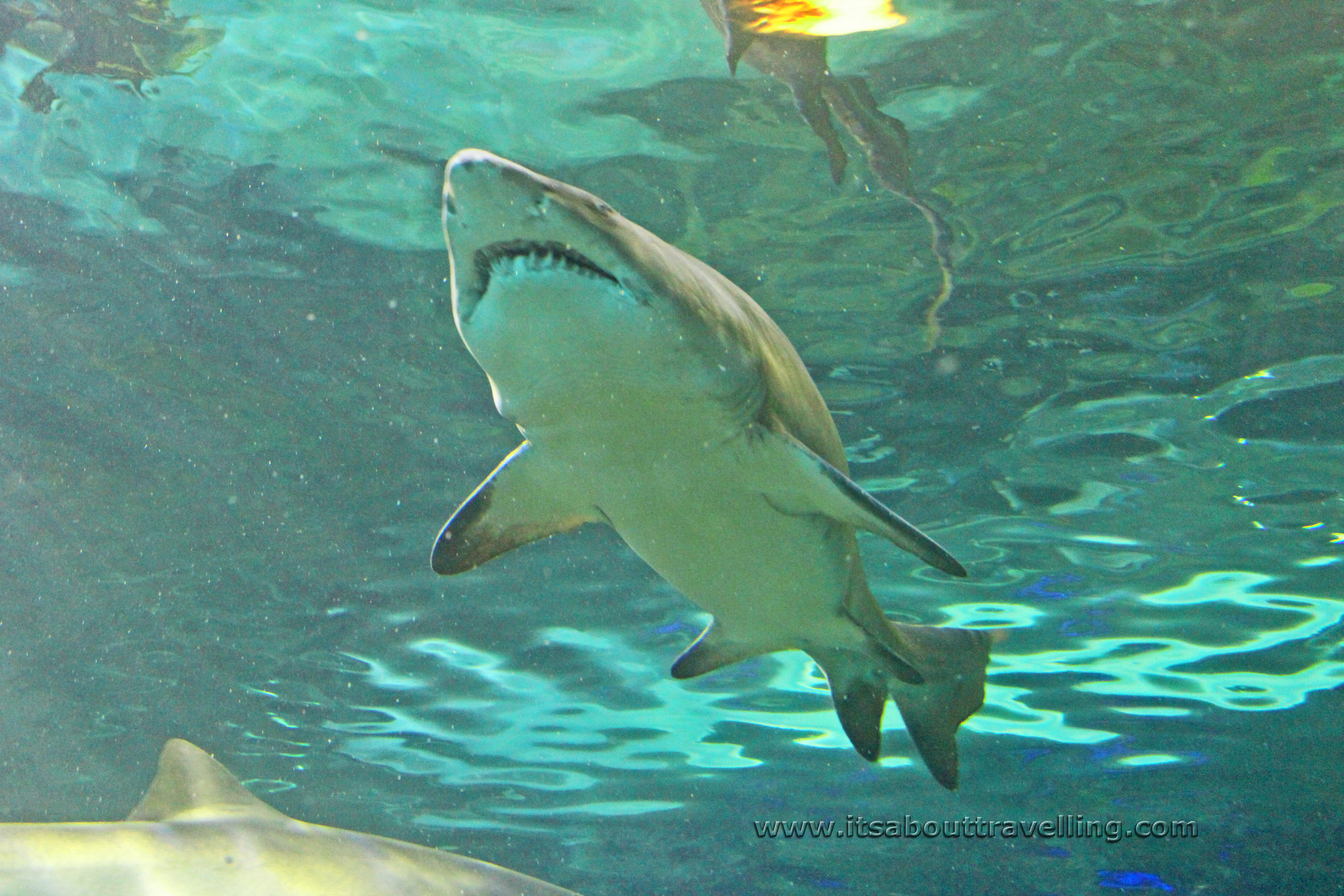 Fish aquarium in canada - Reef Shark Ripleys Aquarium Canada Toronto